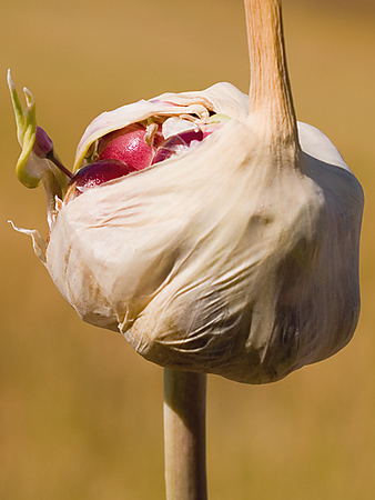 "Boundary Garlic web site. <a href=""http://www.garlicfarm.ca"">http://www.garlicfarm.ca</a>"