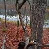 Chris Dunlap - Wood Duck Hen<br /> 17 Jan 11