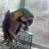 Ana - our precious new blue & gold macaw.<br /> Photo by Rigdzin Zeoli