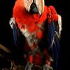 Coco - macaw<br /> photo by Bonnie Jay