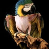 Juliet, blue & gold macaw<br /> photo by Bonnie Jay