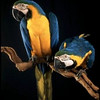 Phoebe & Merlin - blue & gold macaws<br /> photo by Bonnie Jay