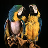 Juliet & Harry - blue & gold macaws<br /> photo by Bonnie Jay