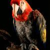 Jack - macaw<br /> photo by Bonnie Jay