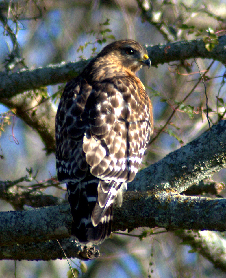Red-shouldered Hawk - BNWR
