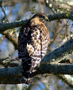 Red-shouldered Hawk - BNWR