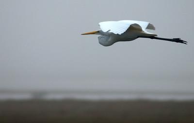 Great Egret - BNWR