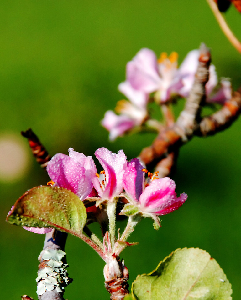 Fall Apple Blossoms with Dew II