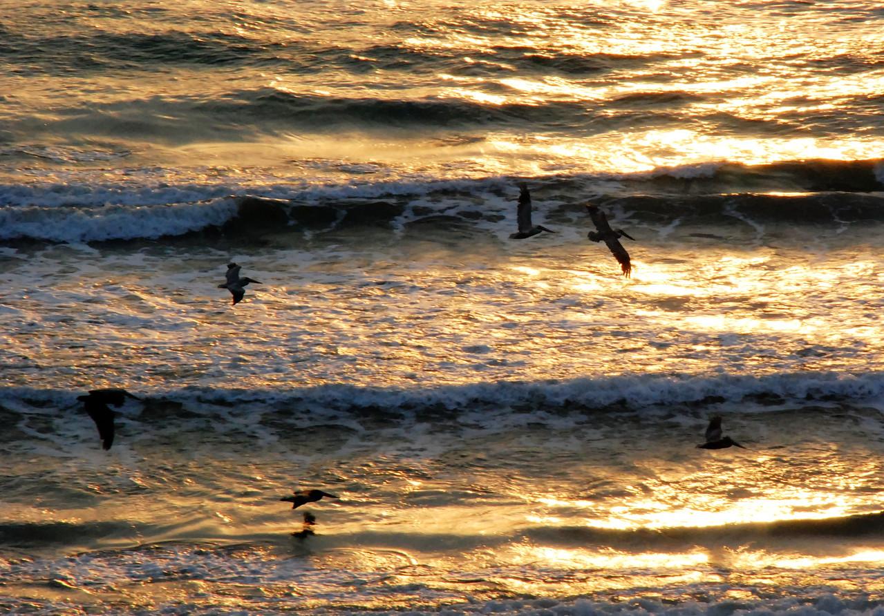 Padre Island Pelicans