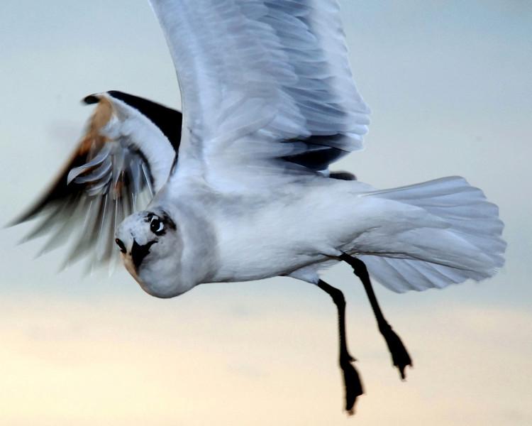 Seaull In Flight