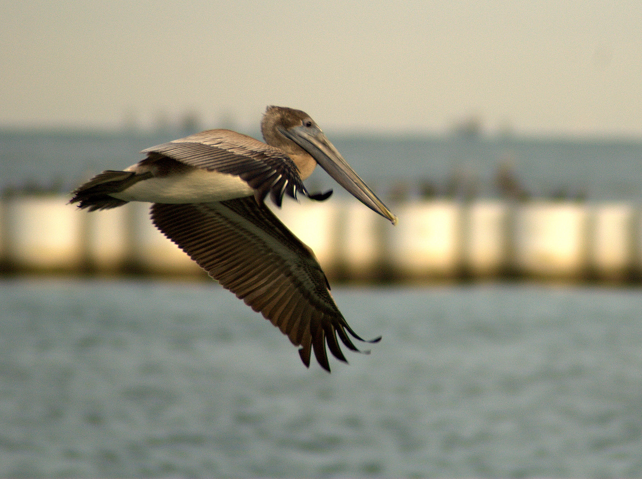 Pelican on the Wing