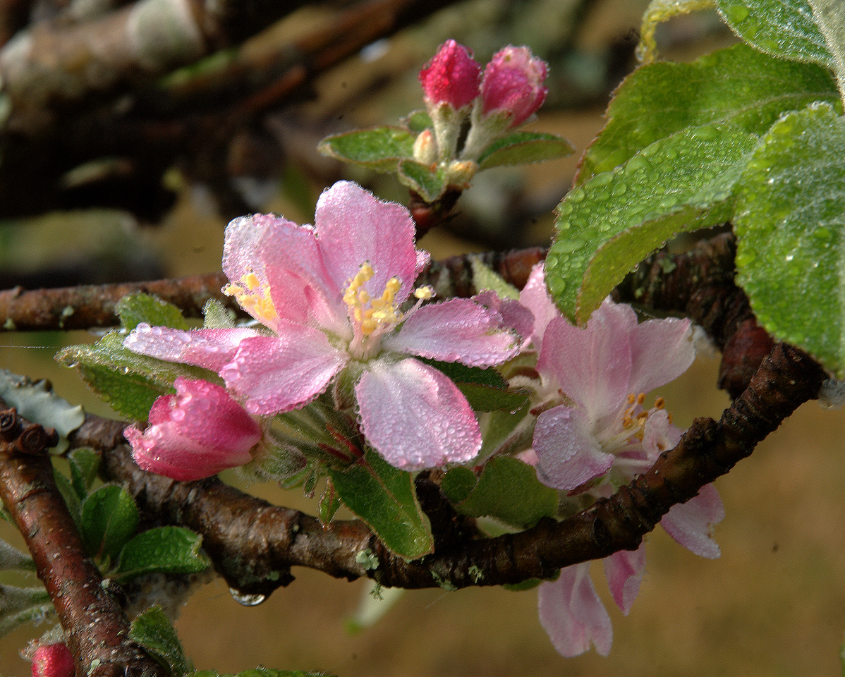 Apple Blossom with Buds in Dew