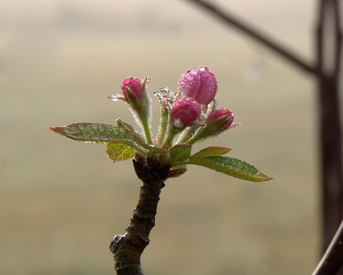 Apple Buds in Dew