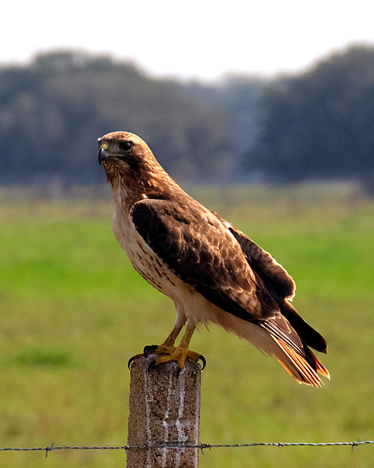 Red-tailed Hawk on Fence Post