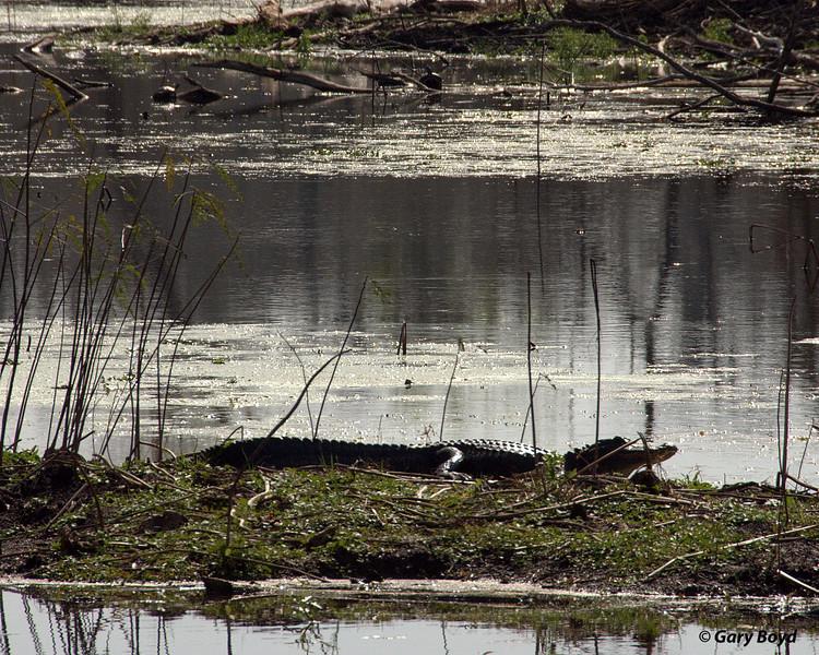 Alligator sunning. <br /> Brazos Bend State Park.