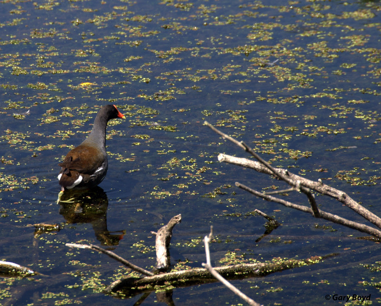 Common Gallinule<br /> Creekfield Lake<br /> Creekfield Interpretive Trail<br /> Brazos Bend State Park