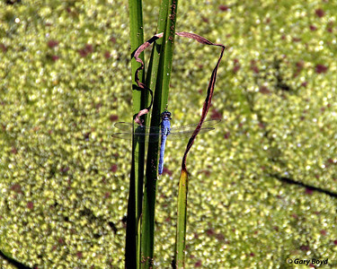 Dragonfly Creekfield Lake Brazos Bend State Park
