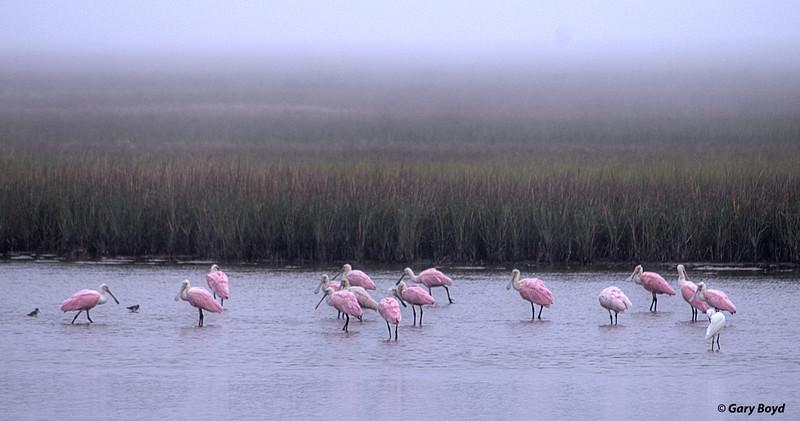 Spoonbills in Fog