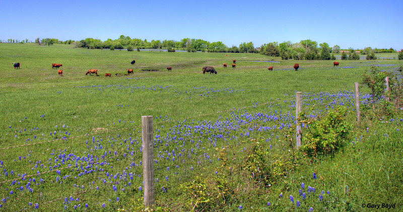 Cows Raised on Bluebonnet Fields