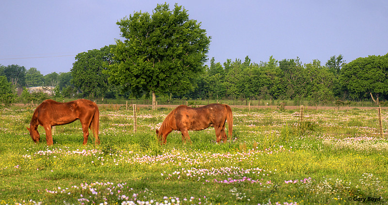 Horses in the Wildflowers