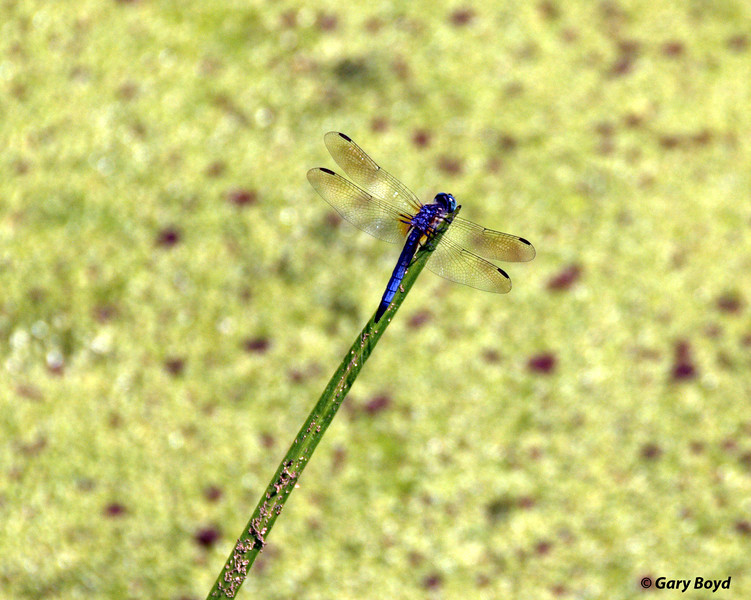 Dragonfly<br /> Creekfield Lake<br /> Brazos Bend State Park