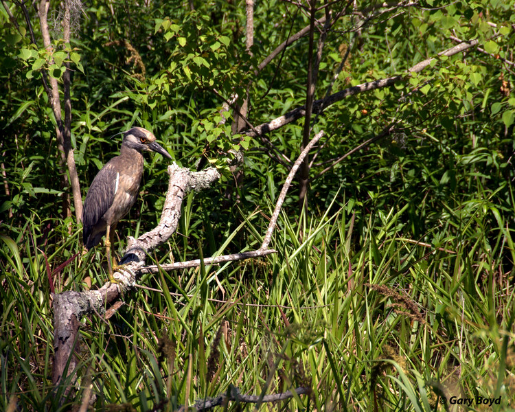 Heron on limb<br /> Elm Lake Loop Trail<br /> Brazos Bend State Park