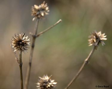 Rattlesnake Master (Eryngium yuccifolium) - Nash Prairie
