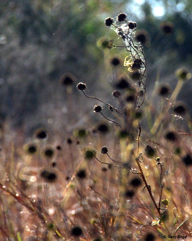 Seed Heads and Spiderwebs - Nash Prairie Preserve