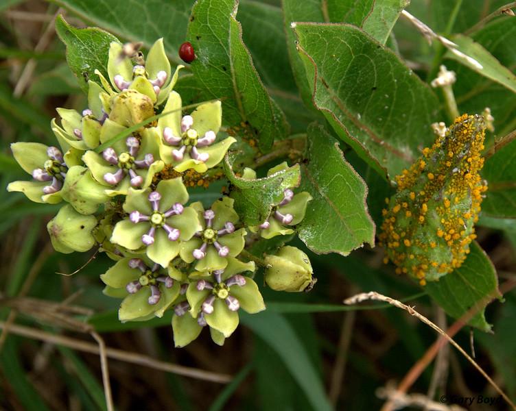 Milkweed - Nash Prairie
