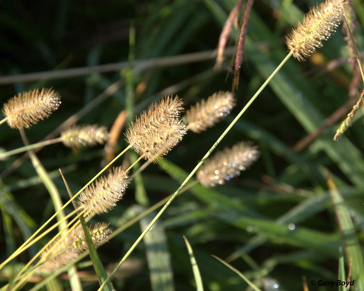 Knot-weed Bristlegrass - Nash Prairie