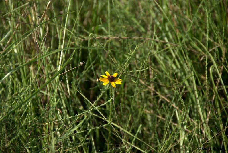 Black-eyed Susan (Rudbeckia hirta) - Nash Prairie