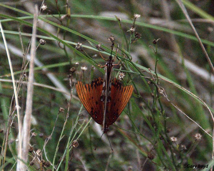 Gulf Fritillarys mating