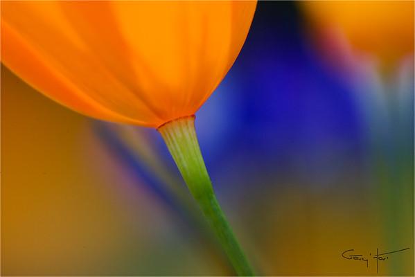Poppy Lanterns, Merced River Canyon, California