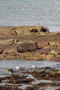 Redshank above and 2 Sanderlings below