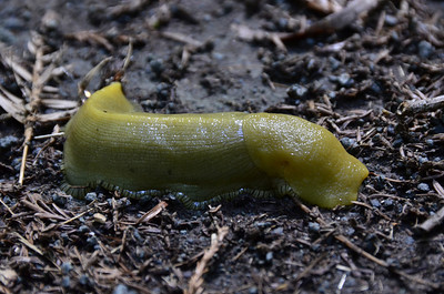 Ariolimax californicus - California Banana Slug