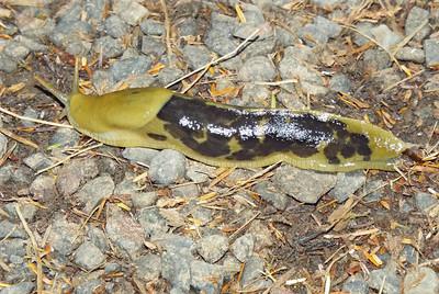 Ariolimax columbianus - Pacific Banana Slug