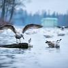 Гатчинские чайки - Белое озеро