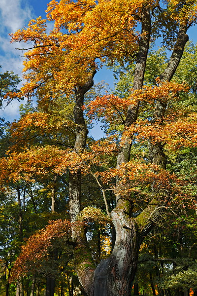 An Autumnal Oak Tree. Gatchina / Осенний дуб. Гатчина