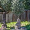 DSC_4573_olive_tree