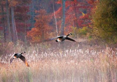NA~Autumn-Geese~242