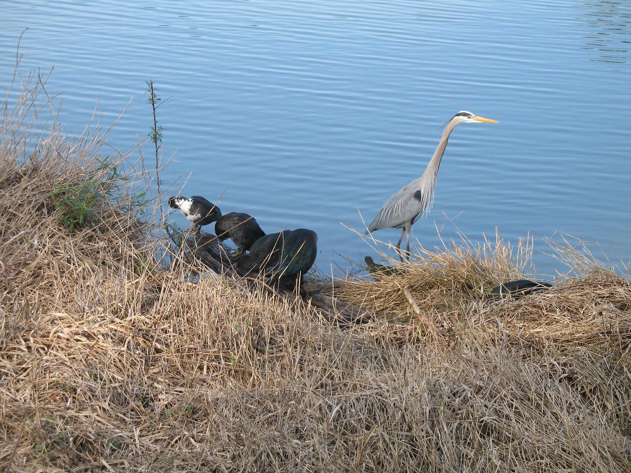 Birds at Lake Lillian, downtown Belleview<br /> PHOTO CREDIT: Florida Trail Association / Sandra Friend