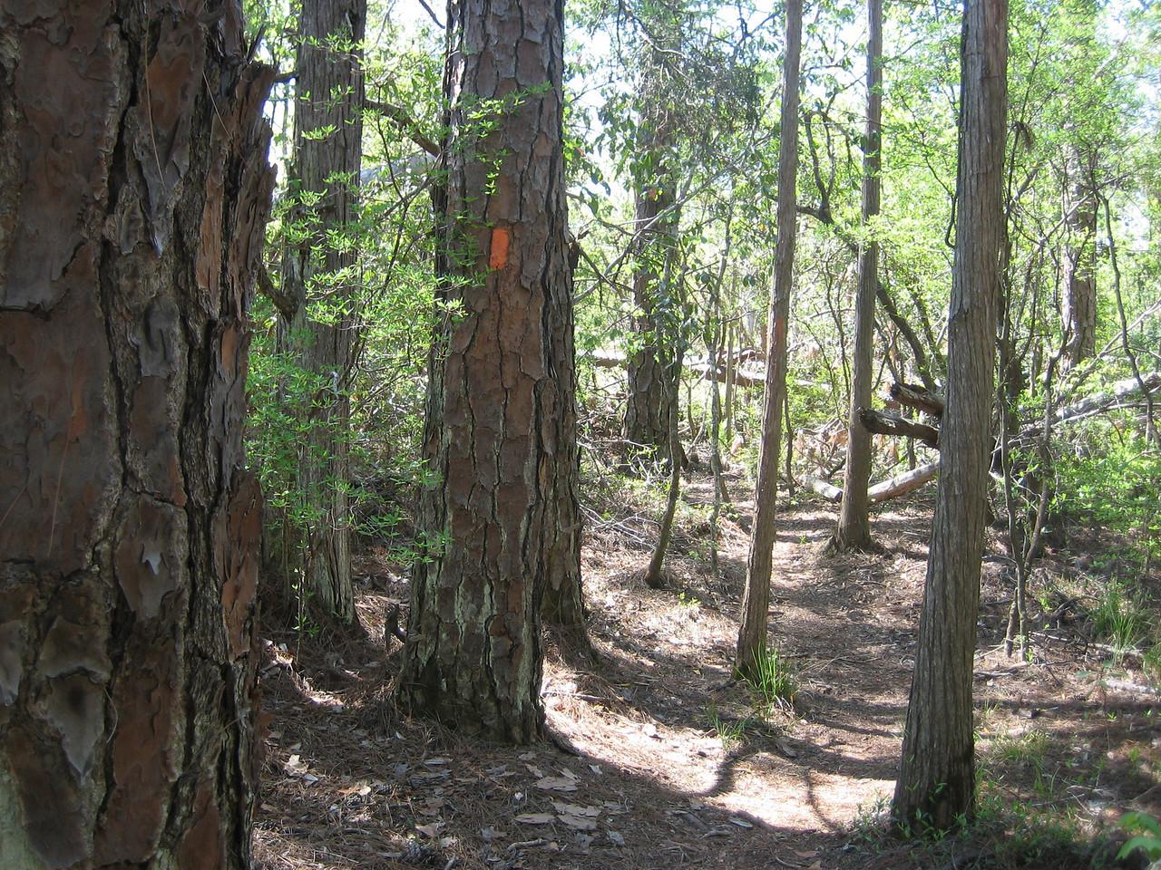Following the orange blazes<br /> PHOTO CREDIT: Sandra Friend / Florida Trail Association