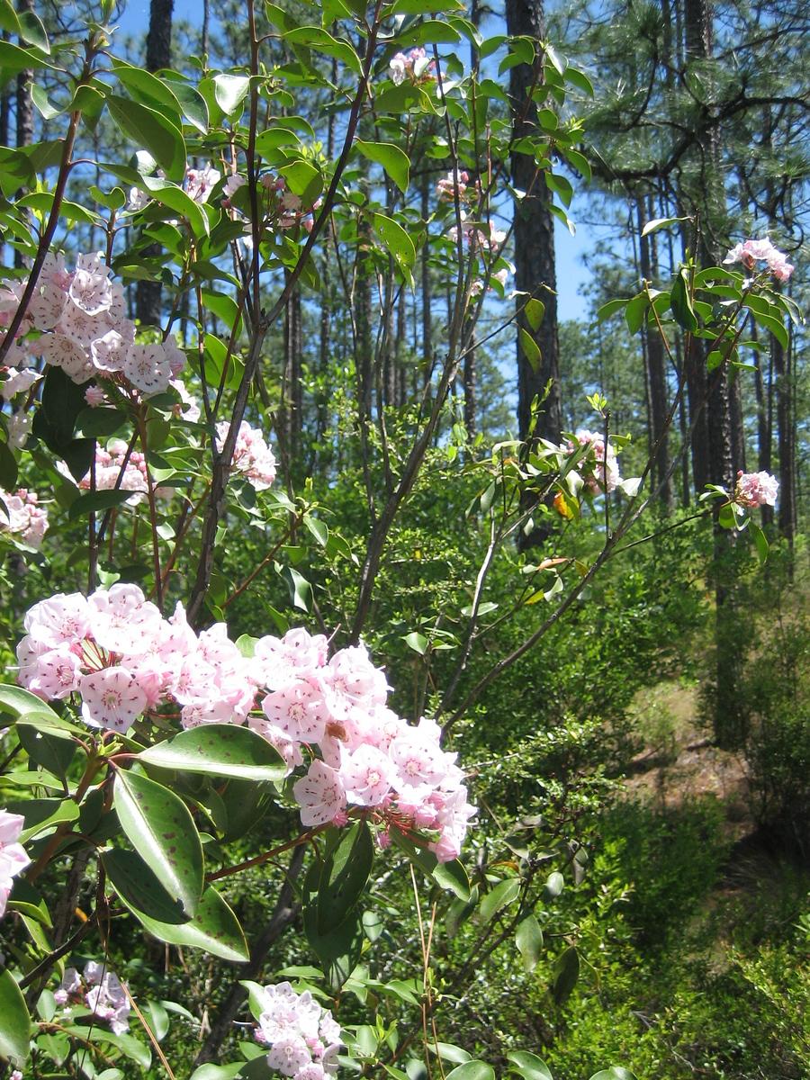 Mountain laurel in bloom along the Juniper Creek Trail<br /> PHOTO CREDIT: Sandra Friend / Florida Trail Association