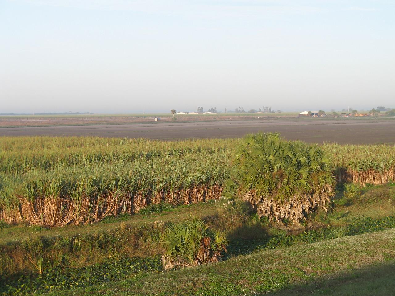 Sugar cane fields at Moore Haven (Sandra Friend)