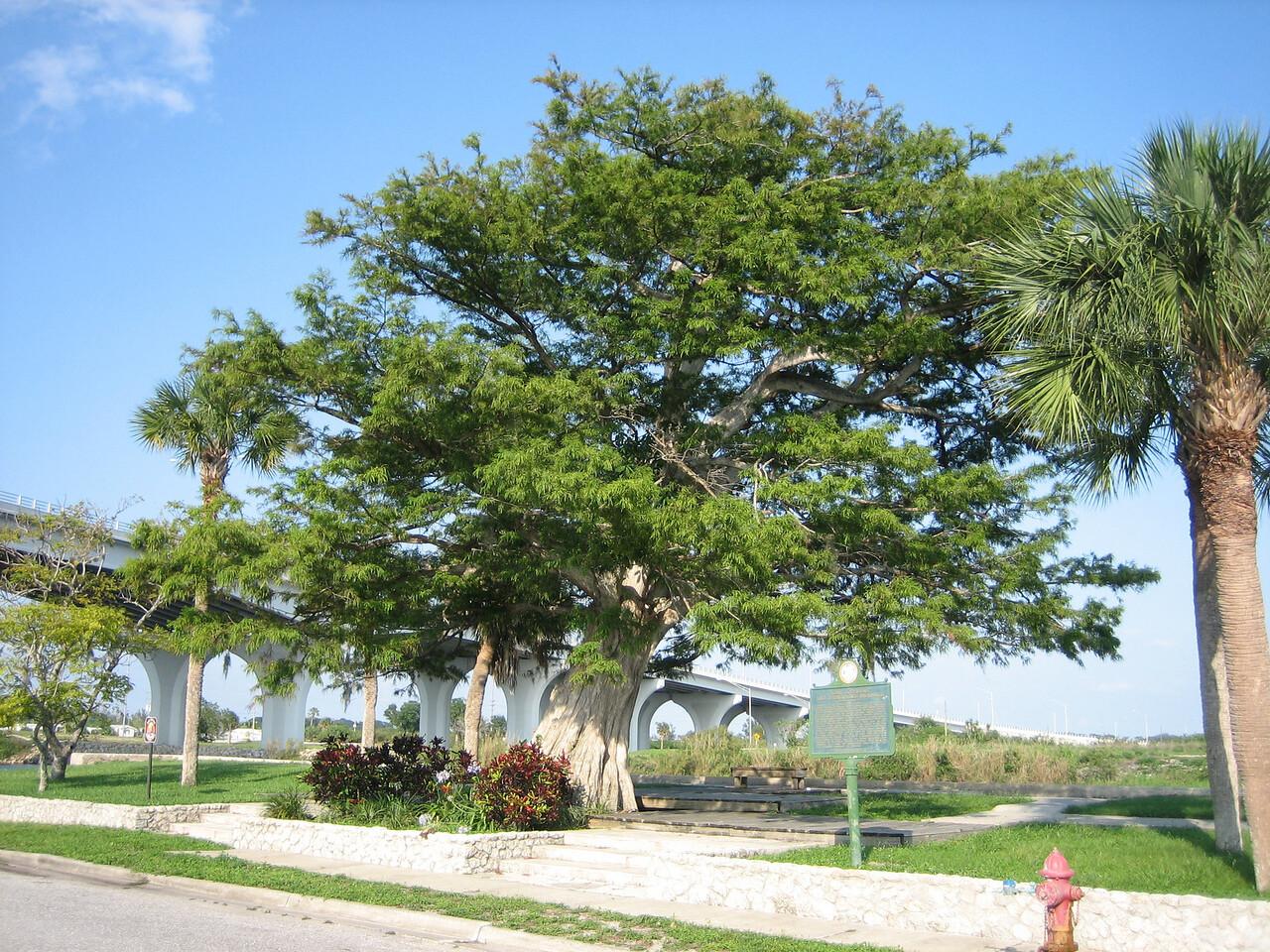 Landmark cypress along the Caloosahatchee River in Moore Haven (Sandra Friend)