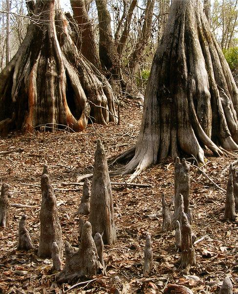 Cypresses along the Suwannee<br /> PHOTO CREDIT: Judith Delbene / Florida Trail Association