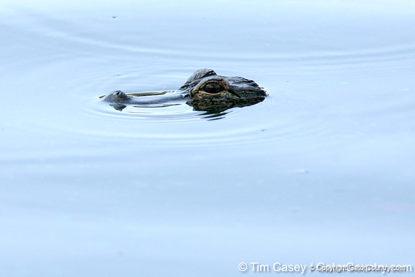 An alligator floats in a water hazard on the second hole during the first round of the NCAA Women's Golf East Regional on Thursday, May 7, 2009 at the Mark Bostick Golf Course in Gainesville, Fla. / Gator Country photo by Tim Casey