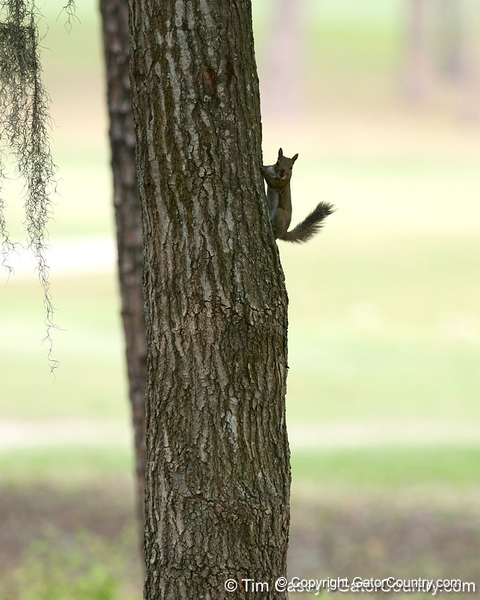 A squirrel climbs a tree during the first round of the NCAA Women's Golf East Regional on Thursday, May 7, 2009 at the Mark Bostick Golf Course in Gainesville, Fla. / Gator Country photo by Tim Casey