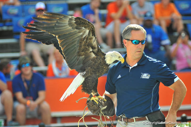 The Georgia Southern eagle and its handler were sideline for the game.  Florida Gators vs Georgia Southern Eagles.  Gainesville, FL.  November 23, 2013.