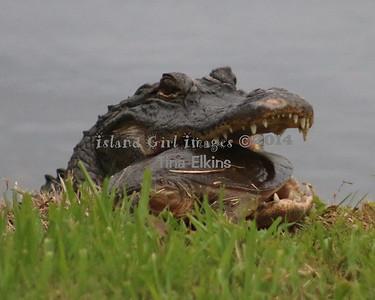 Gator 8